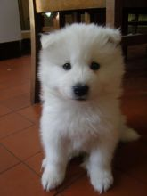 Male and Female Samoyed Puppies Available Image eClassifieds4u 3