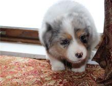 Pure Bred CKc Reg Australian Shepherd Puppies for Adoption *** Image eClassifieds4u 1