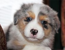 Pure Bred CKc Reg Australian Shepherd Puppies for Adoption *** Image eClassifieds4u 4