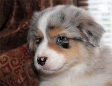 Pure Bred CKc Reg Australian Shepherd Puppies for Adoption *** Image eClassifieds4u 3