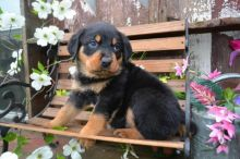 ASTONISHING Male and Female Rottweiler Puppies For Adoption