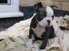 CKC Male and Female Registered Boston Terrier Puppies for Adoption