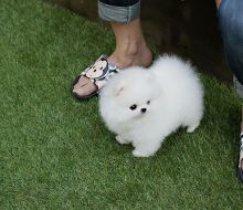 Lovely Male and Female Teacup Pomeranian Puppies for Adoption