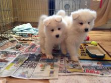 Outstanding male and female Samoyed for Adoption