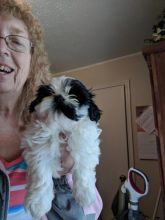 Re-Homing 12 weeks old white and black Shih-Tzu puppies