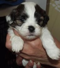 Re-Homing 12 weeks old white and black Shih-Tzu puppies Image eClassifieds4u 2