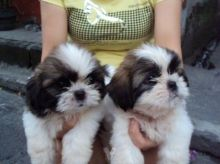 Re-Homing 12 weeks old white and black Shih-Tzu puppies Image eClassifieds4u 1