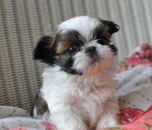 Re-Homing 12 weeks old white and black Shih-Tzu puppies Image eClassifieds4u 4