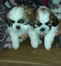 Re-Homing 12 weeks old white and black Shih-Tzu puppies Image eClassifieds4u 3