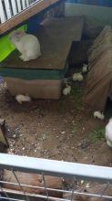 Baby Bunnies- Florida White