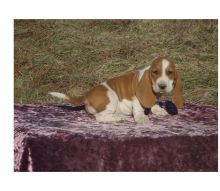 cute n lovely Basset Hound Puppies For Sale TEXT ONLY (317) 939 3419