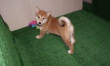 cute Shiba Inu Puppies For Sale TEXT ONLY (317) 939 3419