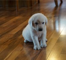 Excellent Male and female Labrador Retriever Puppies Available for Re-Homing