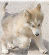 2 male n female Wolf Hybrid Puppies For Sale TEXT ONLY (317) 939 3419