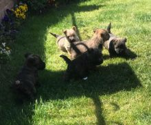 Adorable Cairn Terrier Puppies text (437) 370-5674