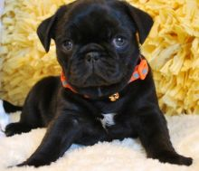 beautiful male and female Pug Puppies For Sale TEXT ONLY (317) 939 3419