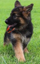 Hinesonhaus Reg'd German Shepherds Of Distinction**** text (437) 370-5674