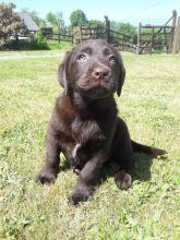 Beautiful Pedigree Chocolate Labrador Puppies text (437) 370-5674