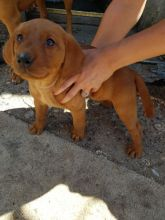 Durham Stunning Kc Reg Fox Red Labradors.. text (437) 370-5674