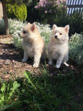 Specia Home Needed For Beautiful Pomsky Puppies text (437) 370-5674