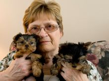 AKC quality Teacup Yorkie Puppies for adoption!!!(571) 418-2453)