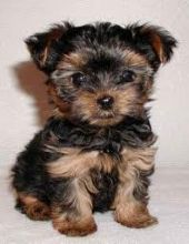 Amazing Teacup Yorkie Puppies for Adoption(571) 418-2453)