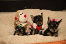 Home-raised Teacup Yorkie Puppies(571) 418-2453)