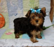 Too cute teacup Yorkie pups ready for new home