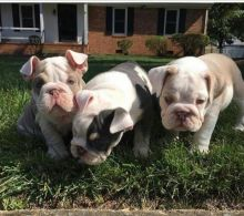 !!!! Pure breed English Bulldog Male and female pup 10 weeks old !!!! (405) 463-9275