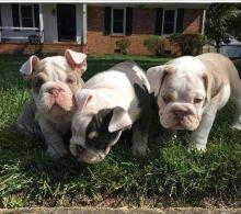 English Bulldog Puppies. AKC Tri Carrier Champion Bloodline (405) 463-9275
