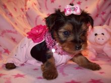 Angelic Yorkie Puppies For Sale.