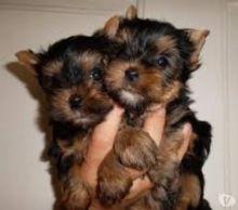 Healthy Pedigree Shih Tzu Pups