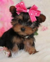 Playful Male and Female Yorkie Puppies For Sale.