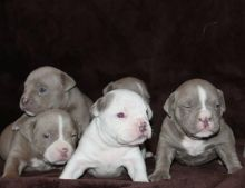 Quality American Pitbull Terrier Puppies (213) 787-4282