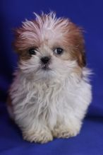Male and female registered Shih Tzu puppies