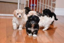 Beautiful Havanese puppies for your home