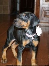 chunky Doberman Pinscher puppies for sale.