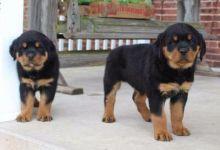 CKC Rottweiler Puppies.