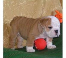 English Bulldog puppies. 10 weeks old.