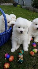 Male and female Samoyed puppies.