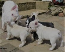 Smart French Bulldog Puppies For Sale