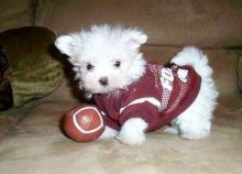 Tiny Maltipoo Puppies For Sale