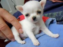 Top quality Chihauhau puppies for adoption.