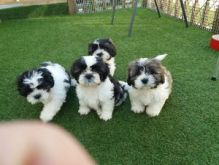 Well trained Shih Tzu Puppes