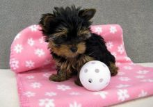 Well trained Yorkie pups for good home