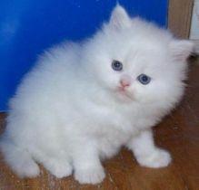 Persian kittens Image eClassifieds4U