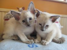 Siamese Kittens For Sale Image eClassifieds4U