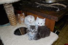 TICA reg Maine Coon Kittens Available Image eClassifieds4U