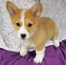Cutest Pembroke Welsh Corgi puppies Available Now..