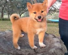 Nice looking Shiba Inu Puppies with vet records